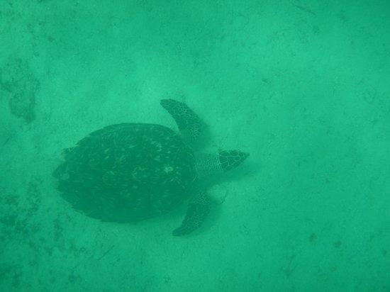 Sea Monkeys Water Sports: Sea Turtle