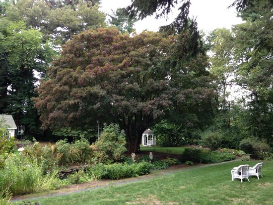 Inn on Putney Road Bed and Breakfast: Spectacular Japanese Maple