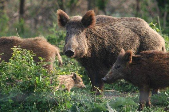 Les Marais du Vigueirat : famille de sangliers