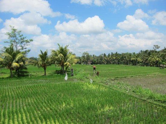 Omah Apik: 後面大片的田園~綿延到眼睛的盡頭