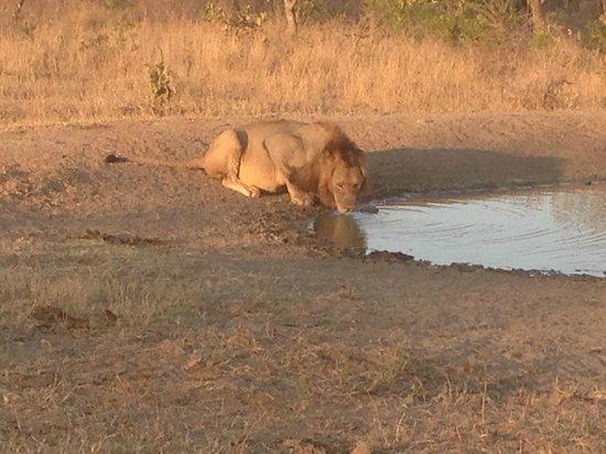 Monwana Game Lodge: Lion drinking from Waterhole