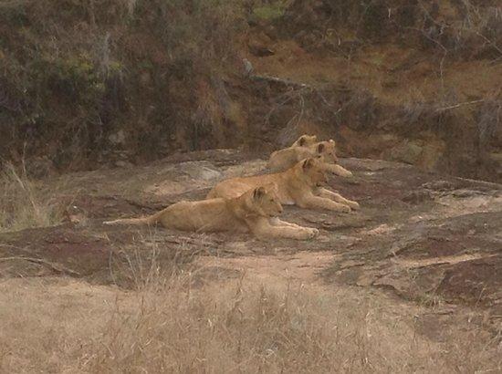 Monwana Game Lodge: Lion female/Cubs