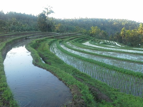 Bali Eco Stay Bungalows: Rice terraces which change with the light.