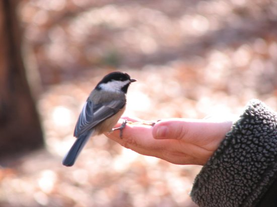 Beech Forest chickadee