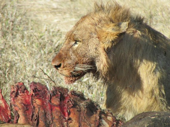 Honeyguide Khoka Moya & Mantobeni Camps: A lion eating it's own lunch