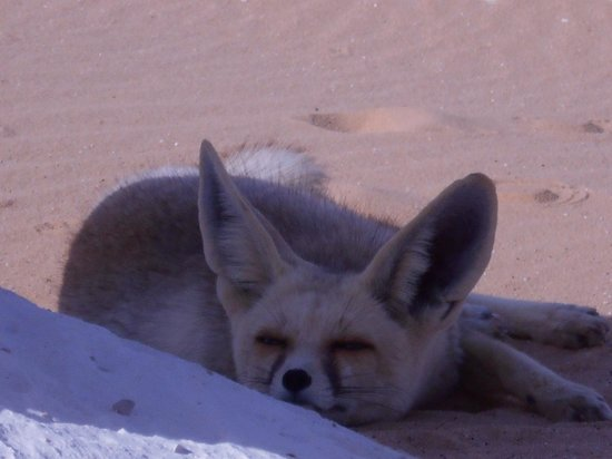 ‪وايت دزرت: A wistfully look, White Desert Fennec Fox, Egypt, #53‬