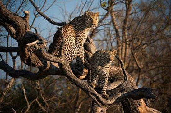 Sanctuary Stanley's Camp: Leopard mother and cub