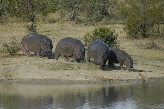Shindzela Tented Safari Camp: Hippos