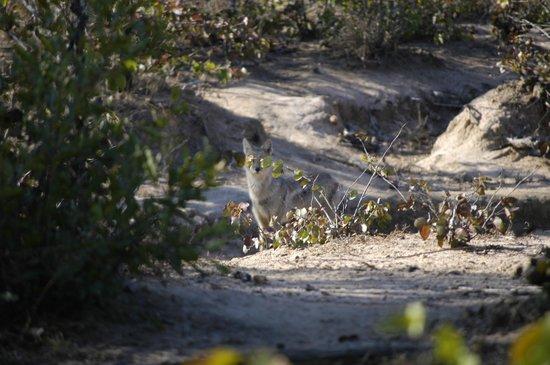 Shindzela Tented Safari Camp: Jackel at camp