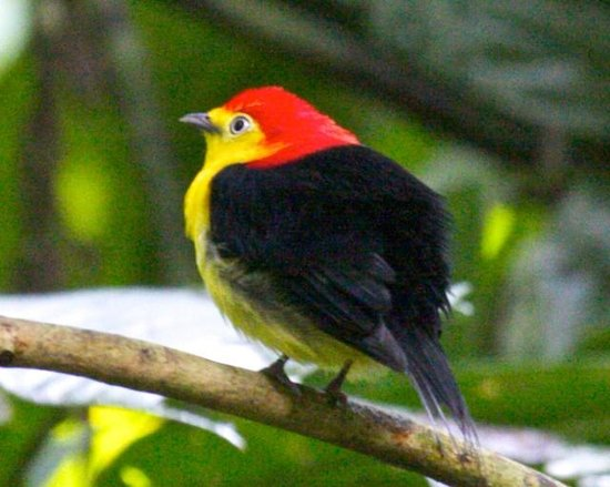 Napo Wildlife Centre: Wire-tailed Manakin