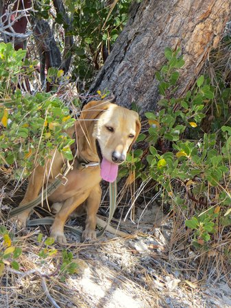 Chilao Recreation Area: my dog seeking shade in the brush