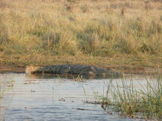 White Elephant Safari Lodge: coccodrillo