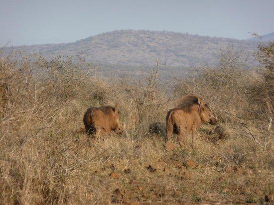 White Elephant Safari Lodge: warthog