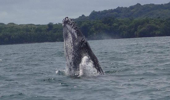 Beyond Adventure Tours: WHALES - BALLENAS AT CHIRIQUI GULF