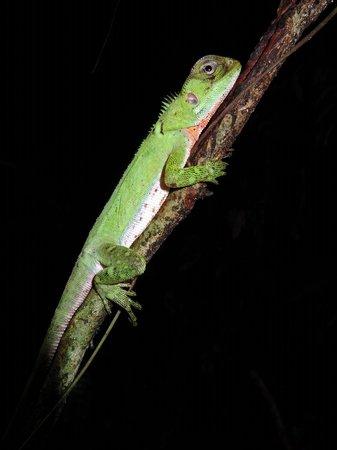La Selva Amazon Ecolodge: Amazon forest dragon
