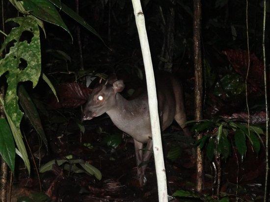 La Selva Amazon Ecolodge: white-tailed deer