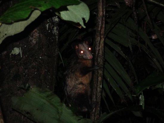 La Selva Amazon Ecolodge: possum