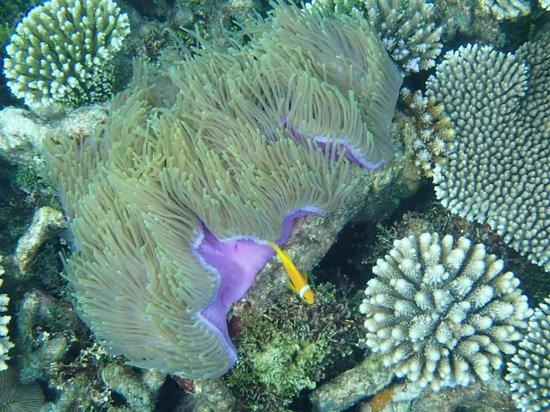 Park Hyatt Maldives Hadahaa: Purple Sea Anemone