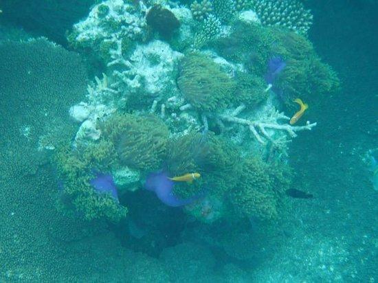 Park Hyatt Maldives Hadahaa: Maldivian clownfish