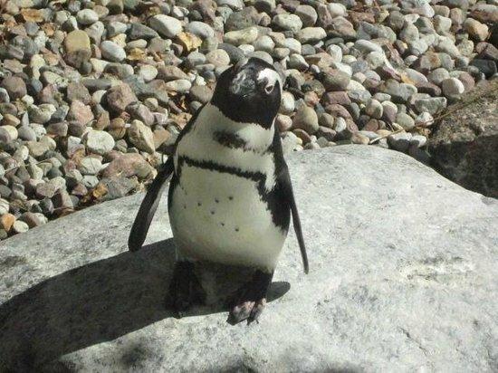 Toronto Zoo: African penguin.