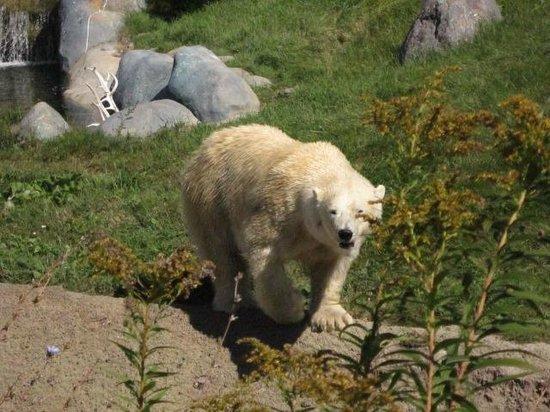 Toronto Zoo: Polar bear.