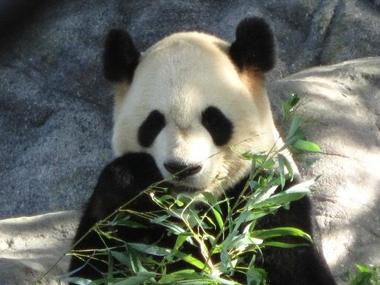 Toronto Zoo: Giant panda eating bamboo.