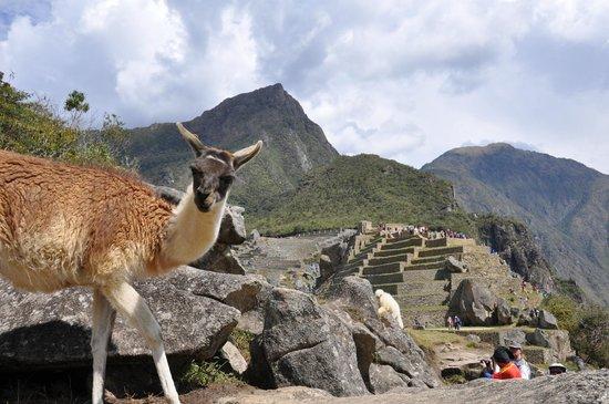 View Peru & Signatures: Llama at MP
