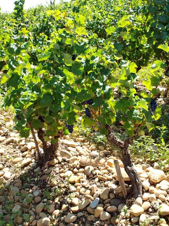 Provence Panorama : I am pretty sure that these are Syrah