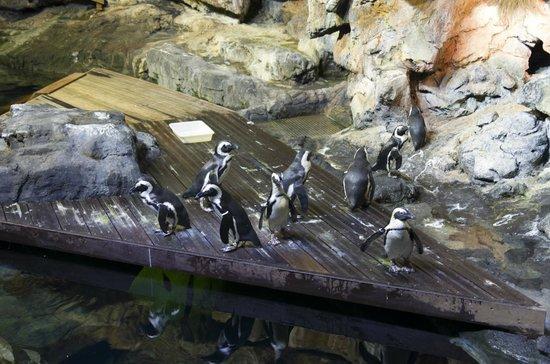 Aquarium Mare Nostrum: le bassin des manchots