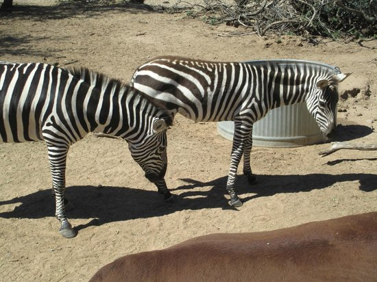 Out of Africa Wildlife Park: Zebras
