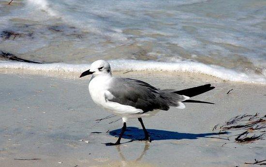 Caladesi Island State Park: Midday beach walker
