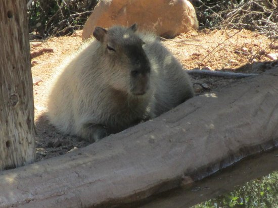 Out of Africa Wildlife Park: Capybara
