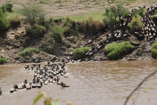 Serengeti Bushtops Camp: Wildebeest Crossing the Mara River