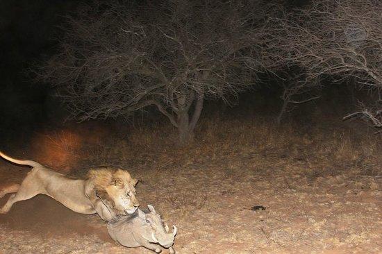 Dinonyane Bush Lodge: Lion
