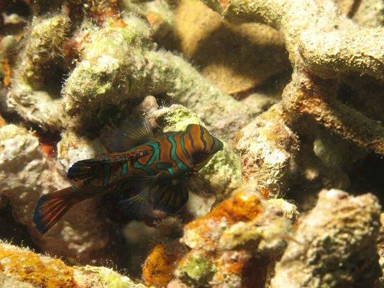 Froggies Divers Bunaken: mandarin