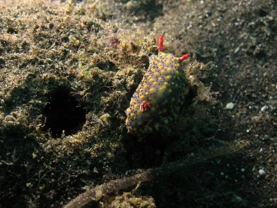 Froggies Divers Bunaken: nudibranche