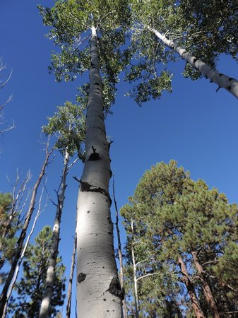 Coconino National Forest: Quaking Aspen