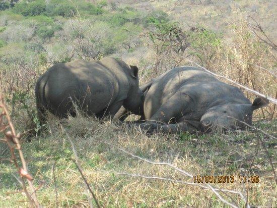 Durban Day Safaris: En tørstig næsehorn unge