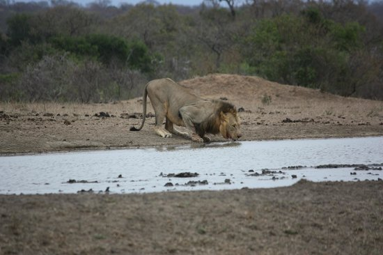 Tangala Safari Camp: lion drinking at the waterhole in front of the camp