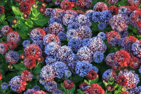 Golden Acre Park: Frosty flowers