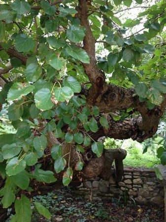 Villa Il Paradisino : Det gamla gamla mullbärsträdet