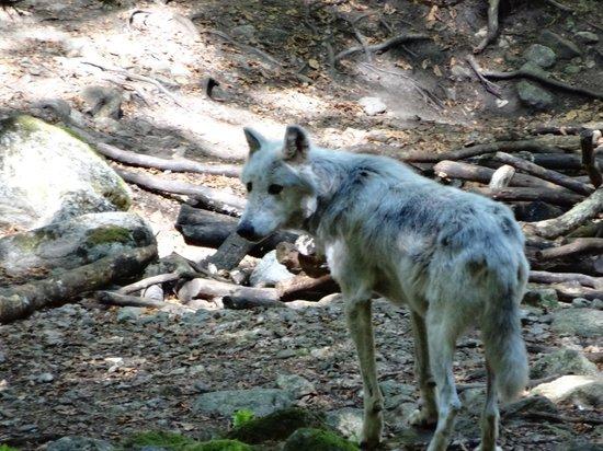 La Maison des Loups : loup europe