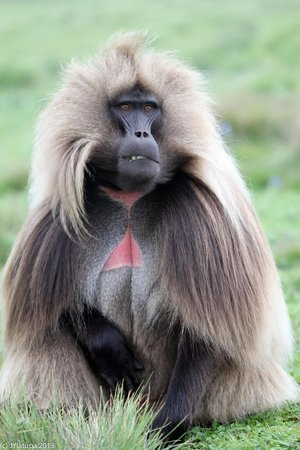 Gonder, Ethiopia: decent photo of a baboon