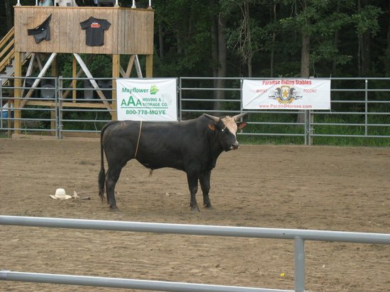 Pocono Mountains: Bull looking straight at us MAD
