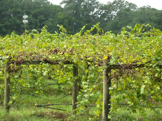 Deep Water Vineyard: Harvest season for the muscadines!