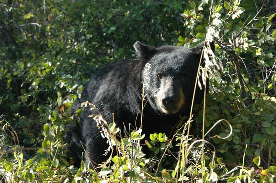 Jackson Hole Eco Tour Adventures: Happy bear eating berries