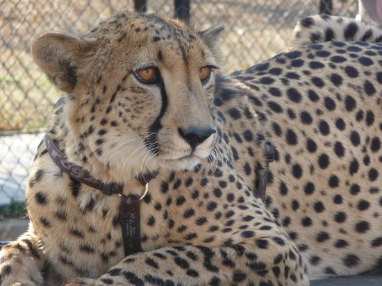Moholoholo Wildlife Rehab Centre: ceetah