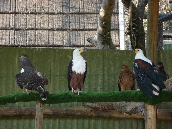 Moholoholo Wildlife Rehab Centre: eagles