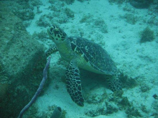 Waterlemon Cay: turtle