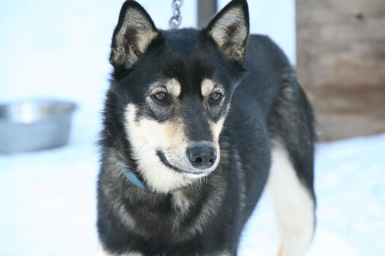 Klondike Dreams Sled Dog Rides